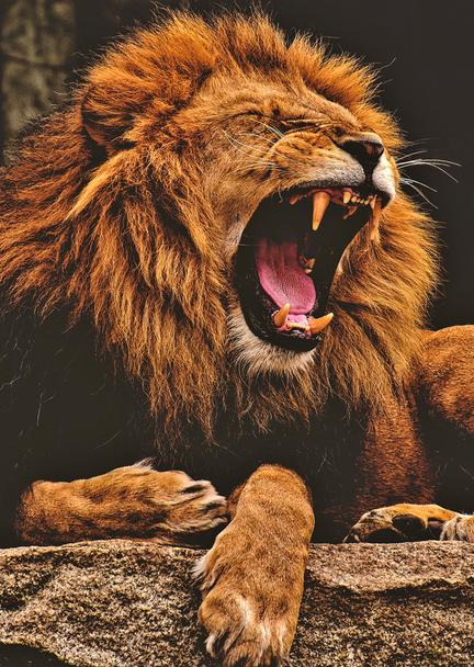løve plakat fotomester