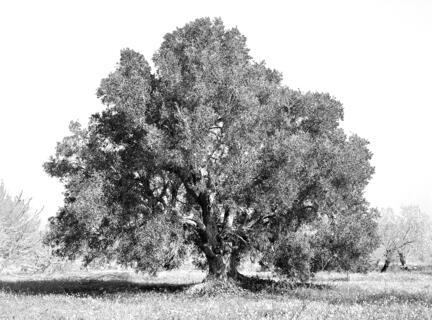 Oliventræ oliven træ algarve portugal