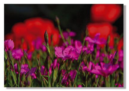 dark light denmark pink red flower webshop