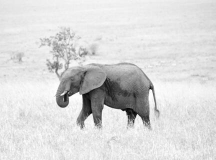 elefant kenya savanne masai mara b/w s/h