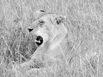 løve kenya savanne