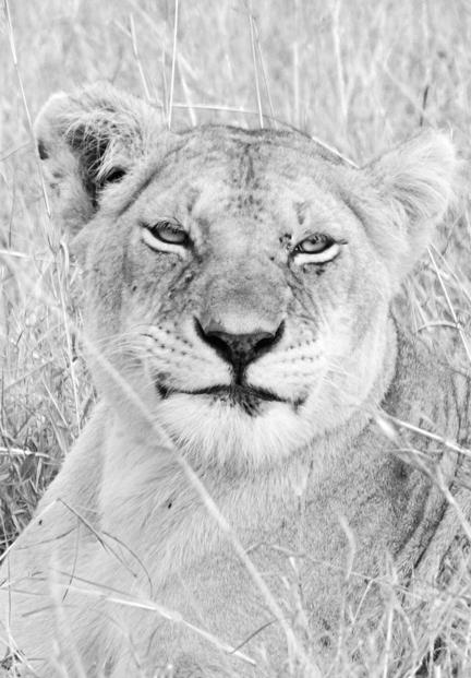 kenya masai mara savanne løve
