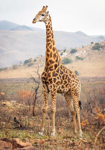giraf kenya fotomester