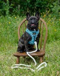 fransk bulldog, hundeseler