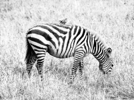 zebra kenya savanne b/w