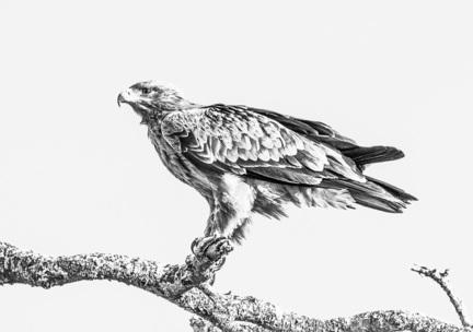 fotomester rovfugl tanzania