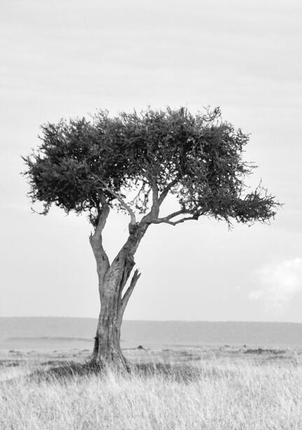 kenya savanne træ masai mara