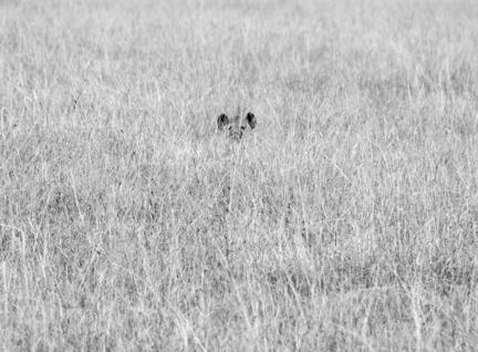 hyæne kenya savanne masai mara b/w s/h
