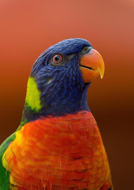 papegøje fotomester