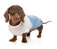 daschhund, gravhund, tøj til gravhund, trøje til gravhund