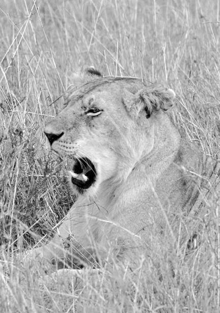 kenya masai mara løve savanne