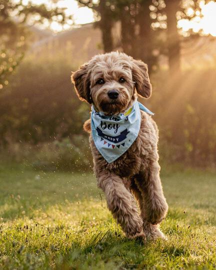 hunden weyse, fødselsdagsbandana