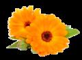 kinesisk-chrysantemum-hyaluronsyrer-egenskaber-med små-mirakler