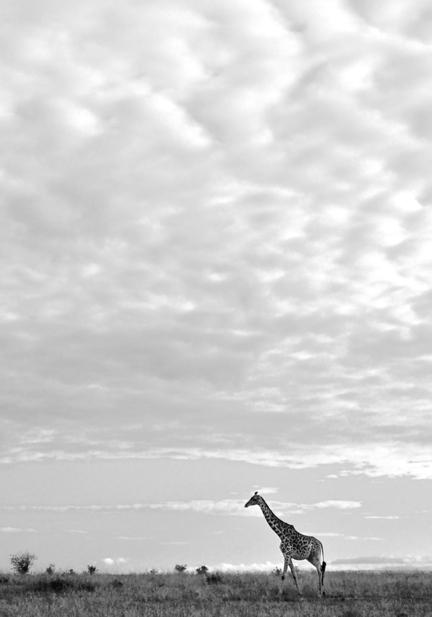 giraf kenya masai mara savanne