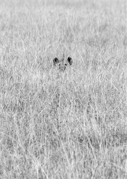 kenya masai mara savanna hyæne