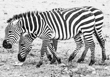 fotomester zebra tanzania