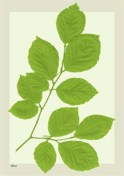 boeg beech green leaves bøgeblad grafisk poster