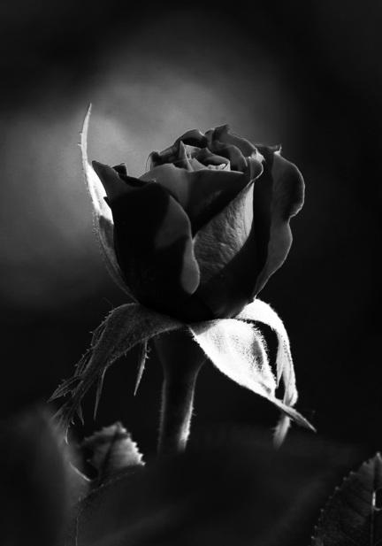 fotomester plakat rose