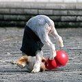 hund-med-kong-bounzer-legetøjs-bold-large-rød