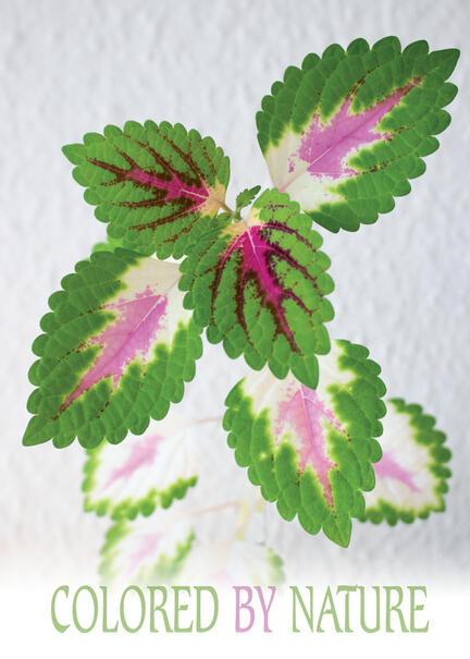 Nature color colored pink green leaf blad