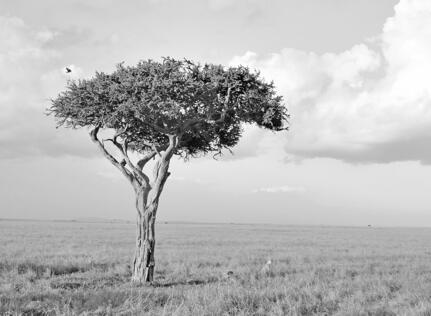 safari savanne b/w træ geopard