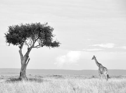 giraf savanne træ kenya