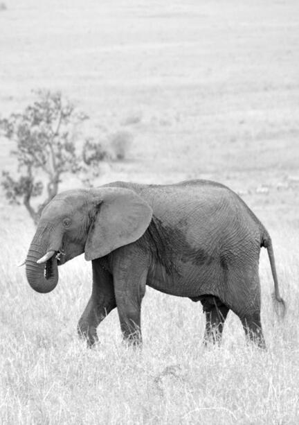 kenya masai mara elefant