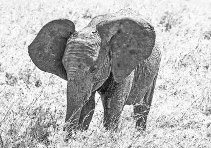 fotomester elefant tanzania