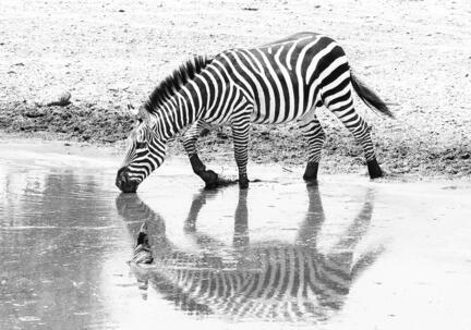 fotomester.dk plakat zebra s/h b/w