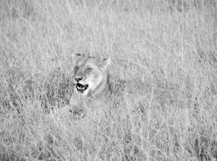 løve savanne kenya masai mara
